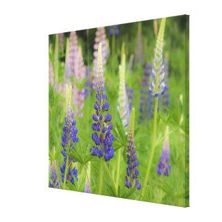 USA, Maine, Acadia National Park. Field of Canvas Print