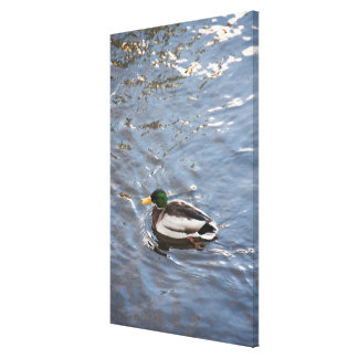USA, Maine, Camden, Mallard Duck on lake Gallery Wrapped Canvas