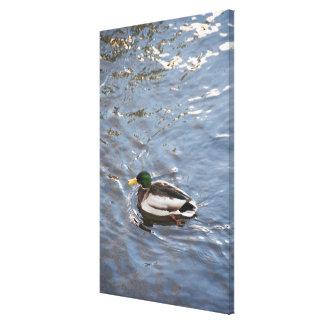 USA, Maine, Camden, Mallard Duck on lake Canvas Print