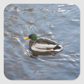 USA, Maine, Camden, Mallard Duck on lake Square Sticker