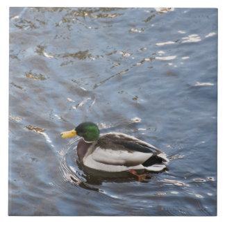USA, Maine, Camden, Mallard Duck on lake Tile