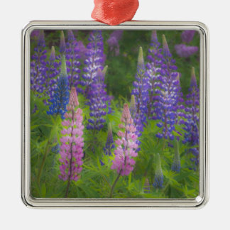 USA, Maine, Southwest Harbor. Blooming lupine Silver-Colored Square Decoration