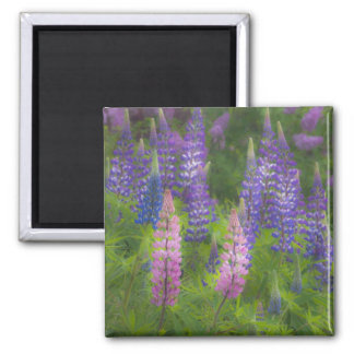 USA, Maine, Southwest Harbor. Blooming lupine Square Magnet