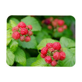 USA, Massachusetts, Nantucket. Ripe Raspberries Rectangular Photo Magnet