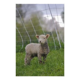 USA, Massachusetts, Shelburne. A lamb with Art Photo