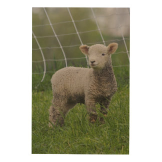 USA, Massachusetts, Shelburne. A lamb with Wood Wall Art