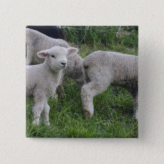 USA, Massachusetts, Shelburne. Lambs walk and 15 Cm Square Badge
