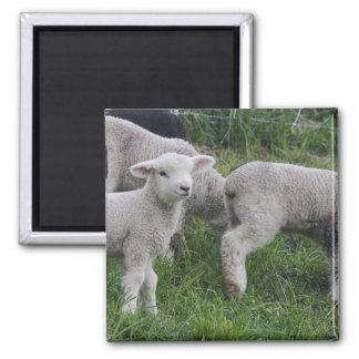 USA, Massachusetts, Shelburne. Lambs walk and Magnet