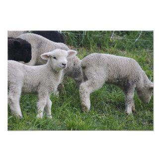 USA, Massachusetts, Shelburne. Lambs walk and Photo Print