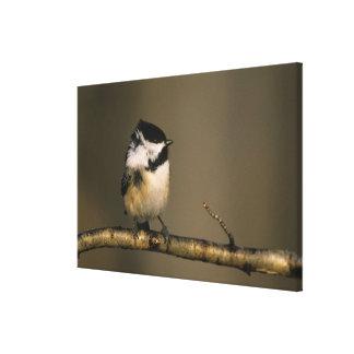 USA, Michigan. Black-capped chickadee perched Canvas Print