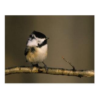 USA, Michigan. Black-capped chickadee perched Postcard