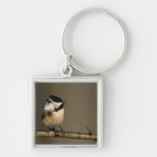 USA, Michigan. Black-capped chickadee perched Silver-Colored Square Key Ring