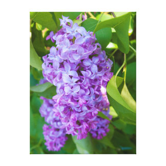 USA, Michigan. Blooming French Lilac Canvas Print