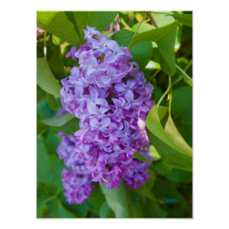 USA, Michigan. Blooming French Lilac Poster
