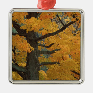 USA, Michigan, Close-up of sugar maple tree in Christmas Ornament