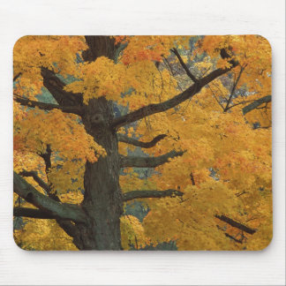 USA, Michigan, Close-up of sugar maple tree in Mouse Pad