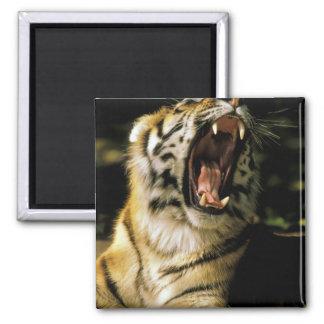 USA, Michigan, Detroit. Detroit Zoo, tiger 2 Magnet