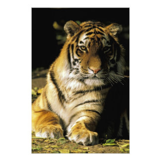 USA, Michigan, Detroit. Detroit Zoo, tiger 2 Photo Print