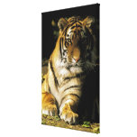 USA, Michigan, Detroit. Detroit Zoo, tiger 2 Stretched Canvas Print