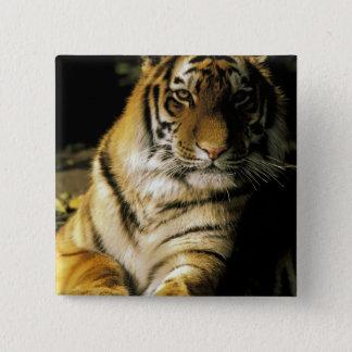 USA, Michigan, Detroit. Detroit Zoo, tiger 3 15 Cm Square Badge