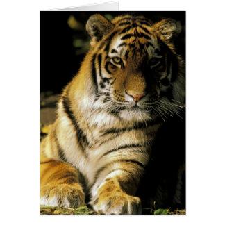 USA, Michigan, Detroit. Detroit Zoo, tiger 3 Card