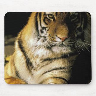 USA, Michigan, Detroit. Detroit Zoo, tiger 3 Mouse Mat