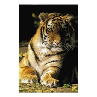 USA, Michigan, Detroit. Detroit Zoo, tiger 3 Photo