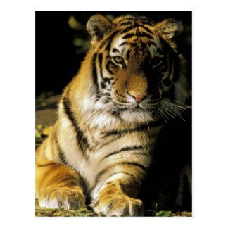USA, Michigan, Detroit. Detroit Zoo, tiger 3 Postcard