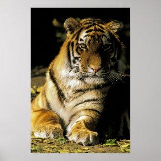 USA, Michigan, Detroit. Detroit Zoo, tiger 3 Poster