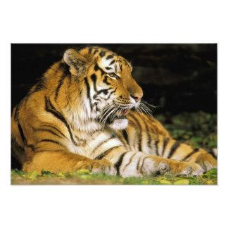 USA, Michigan, Detroit. Detroit Zoo, tiger at Photo