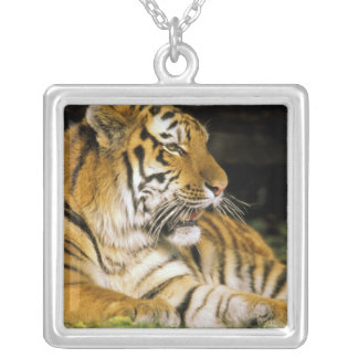 USA, Michigan, Detroit. Detroit Zoo, tiger at Silver Plated Necklace