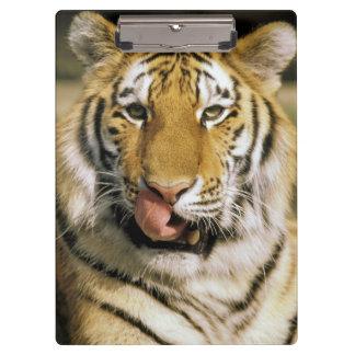 USA, Michigan, Detroit. Detroit Zoo, tiger Clipboard