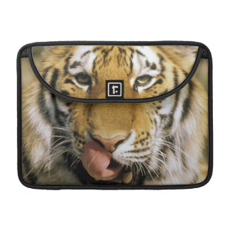 USA, Michigan, Detroit. Detroit Zoo, tiger Sleeve For MacBook Pro