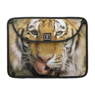 USA, Michigan, Detroit. Detroit Zoo, tiger Sleeve For MacBooks