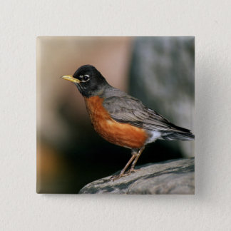 USA, Minnesota, Mendota Heights, male Robin 15 Cm Square Badge