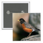 USA, Minnesota, Mendota Heights, male Robin 15 Cm Square Badge