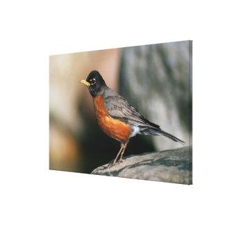 USA, Minnesota, Mendota Heights, male Robin Canvas Print