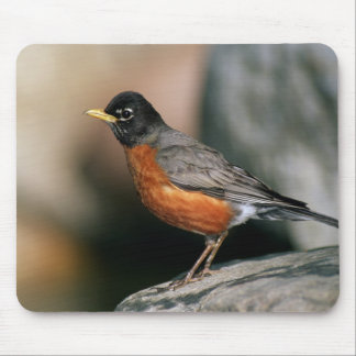 USA, Minnesota, Mendota Heights, male Robin Mouse Mat