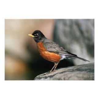 USA, Minnesota, Mendota Heights, male Robin Photo Print