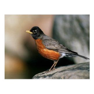 USA, Minnesota, Mendota Heights, male Robin Postcard