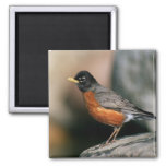 USA, Minnesota, Mendota Heights, male Robin Square Magnet
