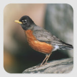 USA, Minnesota, Mendota Heights, male Robin Square Sticker