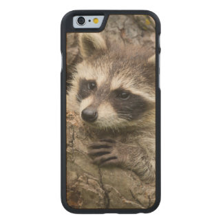 USA, Minnesota, Sandstone, Minnesota Wildlife 16 Carved Maple iPhone 6 Case