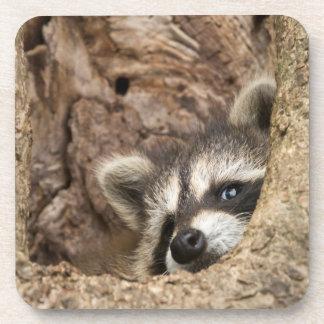 USA, Minnesota, Sandstone, Minnesota Wildlife 3 Coaster
