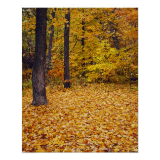 USA, Missouri, Boone County, Maple Forest in Poster