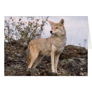 USA, Montana, Kalispell. Coyote at Triple D Card