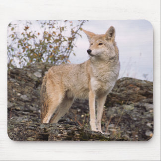 USA, Montana, Kalispell. Coyote at Triple D Mouse Pad