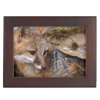 USA, Montana, Kalispell. Gray fox at Triple D Keepsake Box