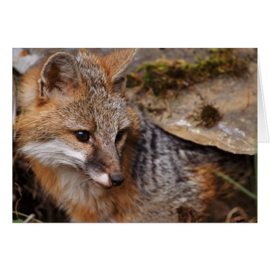 USA, Montana, Kalispell. Grey fox at Triple D Card