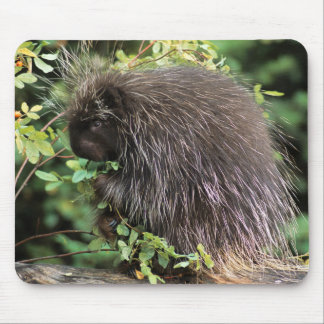 USA, Montana, Kalispell. Porcupine and rose hips Mouse Mat